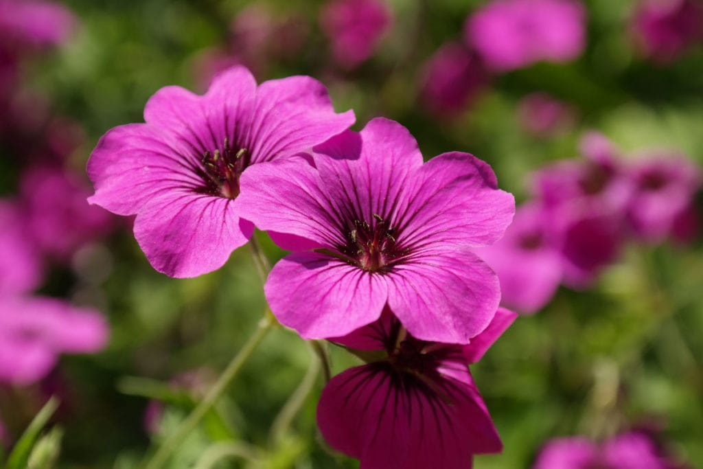 geranium 1024x683 - What flower seeds to sow in May - Inspiration & Growing guide